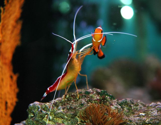 Cleaner shrimp and clown